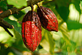Cacao fruits on the tree in the sunlight, North Bali, Indonsia, Asia