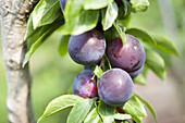 Agriculture, Branch, Branches, Close up, Close-up, Closeup, Color, Colour, Country, Countryside, Daytime, Economy, Exterior, Farming, Field, Fields, Food, Foodstuff, Fruit, Fruit tree, Fruit trees, Fruits, Hang, Hanging, Healthy, Healthy food, Natural, Na
