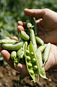 Agriculture, Bean, Beans, Broad bean, Broad beans, Close up, Close-up, Closeup, Color, Colour, Crop, Crops, Daytime, Detail, Details, Exterior, Farming, Food, Foodstuff, Hand, Hands, Healthy, Healthy food, Hold, Holding, Ingredient, Ingredients, Legume, L