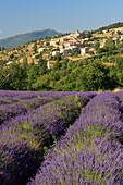 Lavender (Lavandula angustifolia), village of Aurel, Vaucluse, Provence, France