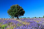 Lavender (Lavandula angustifolia) and tree, Vaucluse, Provence, France