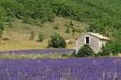Lavender (Lavandula angustifolia) and old stone house, Banon, Vaucluse, Provence, France