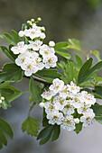White thorn flowers