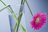 Close up, Close-up, Closeup, Color, Colour, Concept, Concepts, Decoration, Flower, Flowers, Horizontal, Indoor, Indoors, Interior, Nature, One, Pink, Stem, Stems, Still life, Vase, Vases, Water, M44-692516, agefotostock
