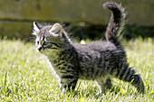 Domestic Cat, Germany, kitten