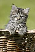 Domestic Cat, Germany, kitten, in a wood basket