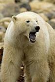 Polar bear yawning, Hudson Bay, near Churchill, Manitoba, Canada