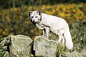 Arctic Fox (Alopex lagopus) on rock in autumn time