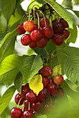Mature Cherries hanging on cherry tree in cherry orchard, Franconia, summertime, Germany