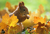 Red squirrel (Sciurus vulgaris), sitting on the ground between oak leaves and feeding on hazelnut, autumn colours, forest in Franconia, Bavaria