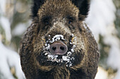 Wild boar (Sus scrofa), front view of trunk and tusks, snow in winter, forest in Bavaria