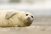 A baby seal (Halichoerus grypus), born in the wintertimes at the shore of Helgoland, is waiting for the mother, which is hunting for hours in the North Sea.