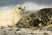 Mother with the young at the shore of Helgoland, North Sea
