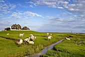 Sheep and dwelling mound, Sudfall hallig, North Frisian Islands, Schleswig-Holstein, Germany