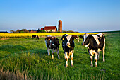 Cattle with St. Salvator Church in background, Pellworm Island, North Frisian Islands, Schleswig-Holstein, Germany