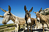 Native breed donkeys with Nossa Senhora da Penha chapel (aka Peninha sanctuary built in the 17th century) in background, Sintra-Cascais Natural Park, Sintra, Portugal