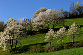 Blooming trees at a slope under blue sky, South Tyrol, Italy, Europe