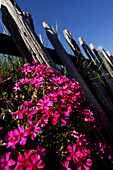 Wooden fence and blooming phlox under blue sky, South Tyrol, Italy, Europe