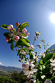 Branch with apple blossom in front of blue sky, South Tyrol, Italy, Europe