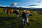 Cows on an alpine meadow in the evening, Alpe di Siusi, South Tyrol, Italy, Europe