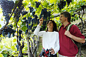A middle-aged couple standing under vines with grapes, Val Venosta, South Tyrol, Italy, Europe