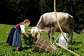 Girl wearing a traditional dress, dirndl, feeding a cow, Alpine meadow, Agriculture, Farm holidays, South Tyrol, Italy