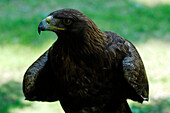 Golden eagle, bird of prey, wild animal, nature, South Tyrol, Italy
