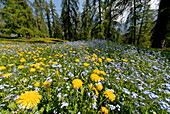 Flower meadow in the forest in spring, South Tyrol, Italy, Europe