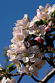 Apple blossom in spring, Fruit Farming, Agriculture, South Tyrol, Italy
