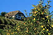 Apples on an apple tree, Golden Delicious, Fruit Farming, Agriculture, Unterinn, Bolzano, South Tyrol, Italy
