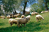 Flock of sheep grazing in the shadow of trees, Crete, Tuscany, Italy, Europe