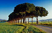 Pine alley in the sunlight, Maremma nature preserve park, Tuscany, Italy, Europe