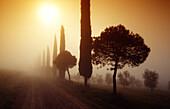 Zypressenallee mit Pinien im Morgennebel, Val d'Orcia, Toskana, Italien, Europa