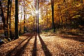 Beech wood at Pulvermaar near Gillenfeld, Eifel, Rhineland Palatinate, Germany