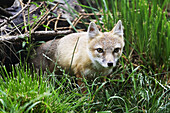 A Swift Fox (Vulpes velox) native to Canada and the United States.  It is also called the 'kit' or 'prairie' fox and is the smallest native fox in North America, about the size of a housecat.