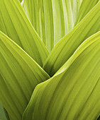 Fresh green leaves of a false hellebore plant in abstract form, San Juan Mountains, Colorado, USA