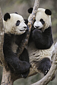 Two subadult giant pandas playing in a tree (Ailuropoda melanoleuca) Wolong Nature Reserve, China