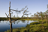 Tree in a marsh in Estonia