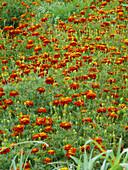 Marigolds (Tagetes sp.)