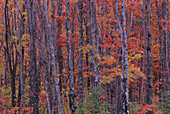 Forest landscape and fall colors on deciduous trees