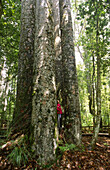 Four Sisters Giant Kauri Trees with Man, Waipoua Kauri Forest, Northland, North Island, New Zealand