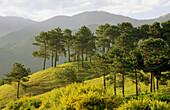Pine Trees on Hill, Southern Alps, Tasman, New Zealand