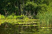 mit dem Hausboot auf der Obere-Havel-Wasserstraße, Havel, Uferbewuchs mit Seerosen, Mecklenburger Gewässer, Brandenburg, Deutschland, Europa