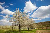 spring, cherry-blossom near Königschaffhausen, Kaiserstuhl, Baden-Württemberg, Germany, Europe