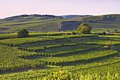 Weinanbau bei Oberrotweil, Kaiserstuhl, Baden-Württemberg, Deutschland