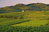 Weinanbau bei Kiechlinsbergen, Kaiserstuhl, Baden-Württemberg, Deutschland
