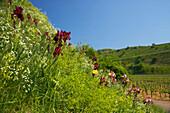 Lilies at Oberrotweil , Spring , Day , Kaiserstuhl , Baden-Württemberg , Germany , Europe