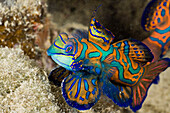 Mandarinfish, Syhchiropus splendidus, Micronesia, Palau