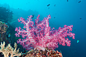 Pink Soft Coral, Dendronephthya, Peleliu Wall, Micronesia, Palau