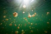 Endemic Mastigias Jellyfish, Mastigias papua etpisonii, Jellyfish Lake, Micronesia, Palau